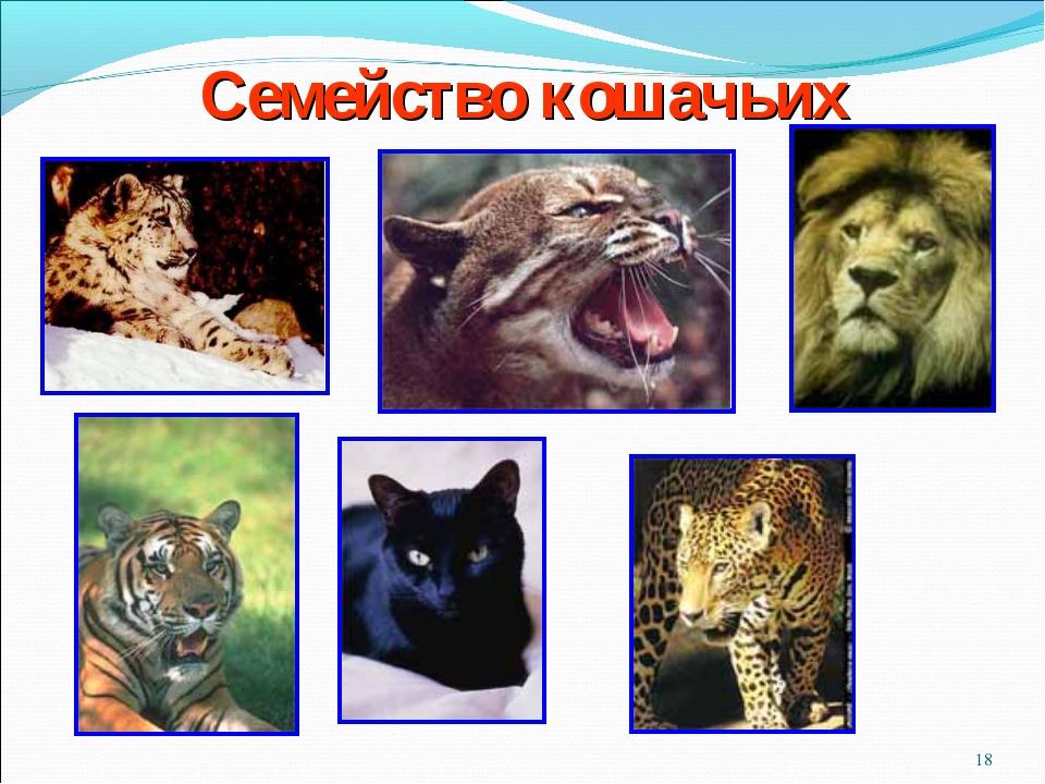 * Семейство кошачьих