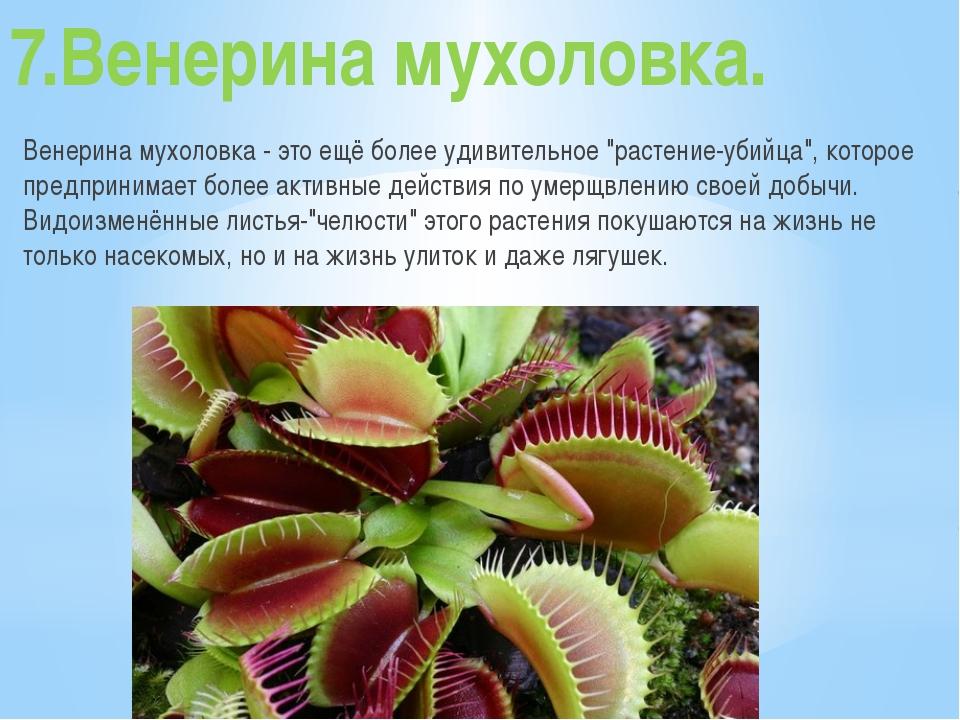 """7.Венерина мухоловка. Венерина мухоловка - это ещё более удивительное """"растен..."""