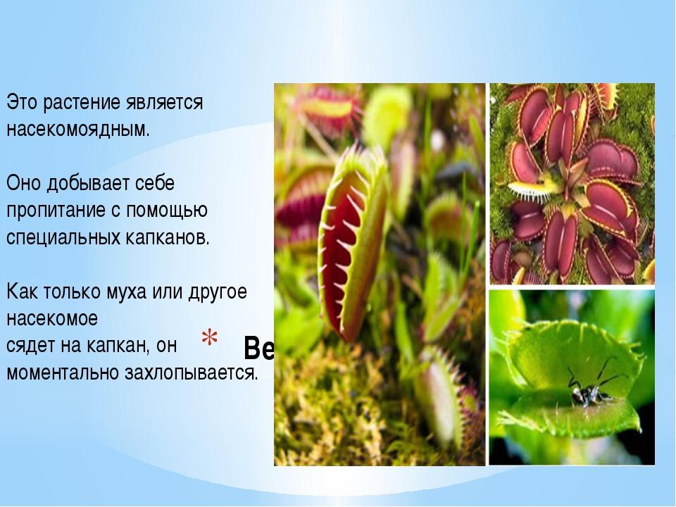 Венерина мухоловка Это растение является насекомоядным. Оно добывает себе про...
