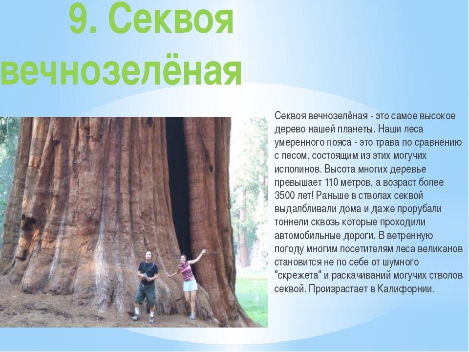 9. Секвоя вечнозелёная Секвоя вечнозелёная - это самое высокое дерево...