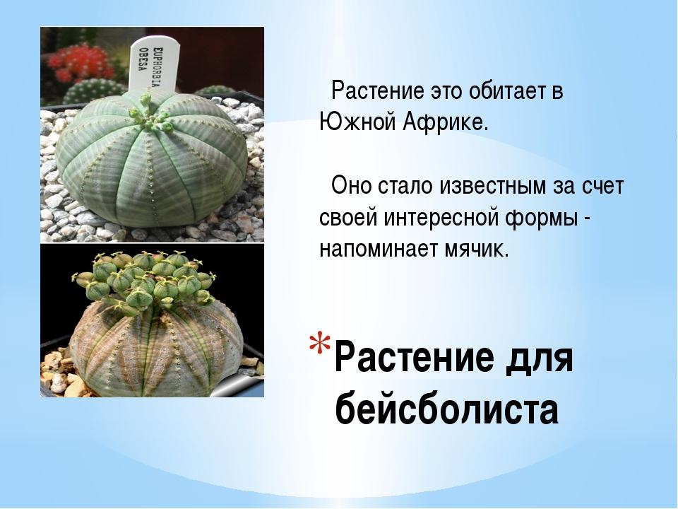 Растение для бейсболиста Растение это обитает в Южной Африке. Оно стало извес...