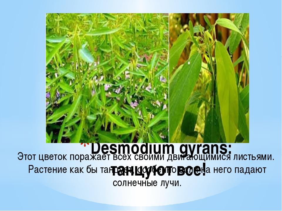 Desmodium gyrans: танцуют все! Этот цветок поражает всех своими двигающимися...