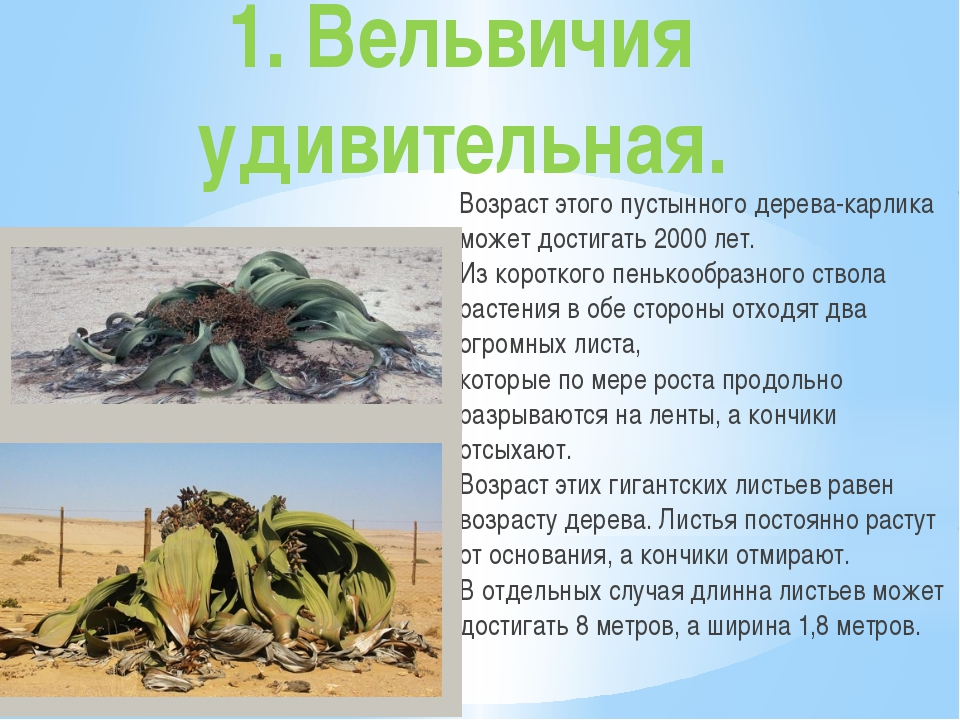 1. Вельвичия удивительная. Возраст этого пустынного дерева-карлика может дост...