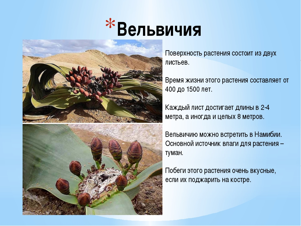 Вельвичия Поверхность растения состоит из двух листьев. Время жизни этого рас...