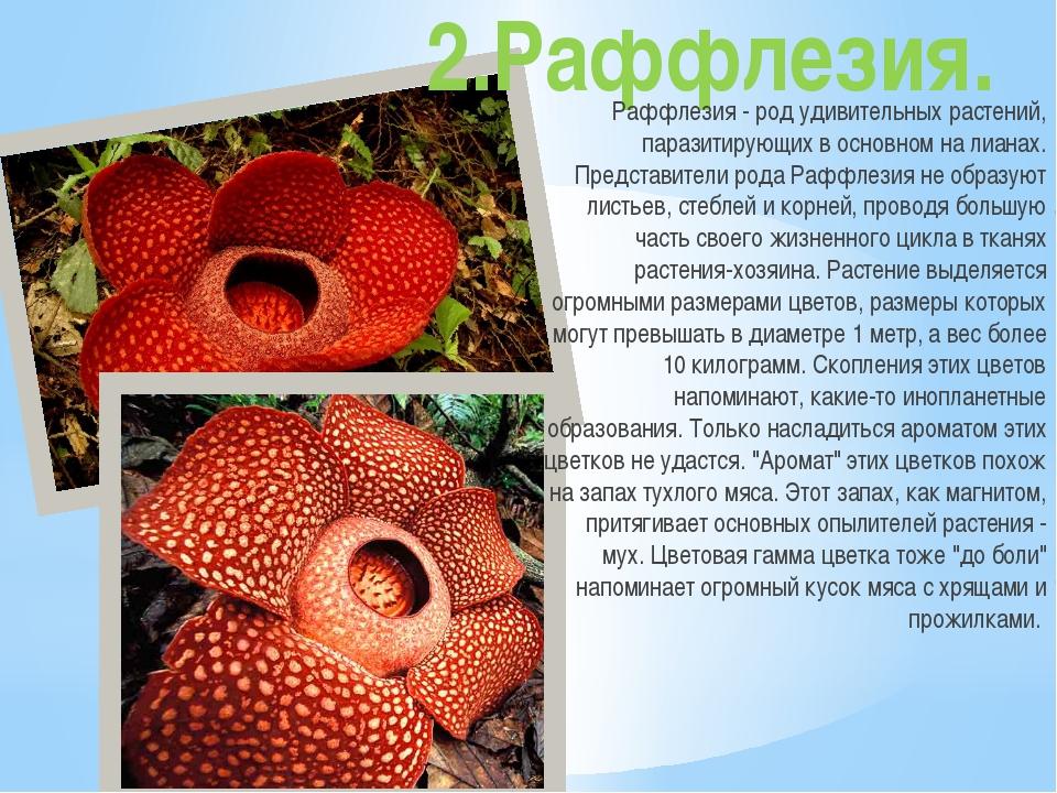 2.Раффлезия. Раффлезия - род удивительных растений, паразитирующих в основном...