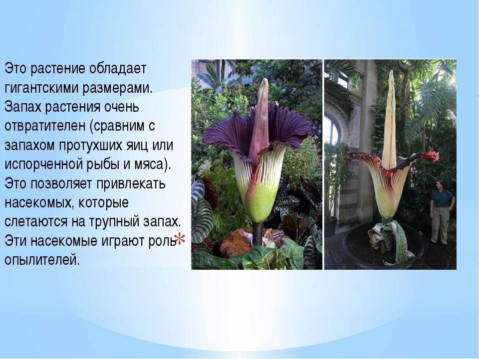 Цветок-труп Это растение обладает гигантскими размерами. Запах растения очень...