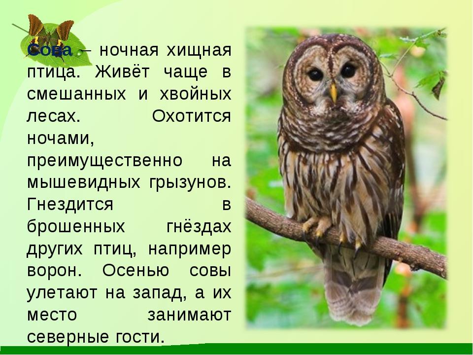 Сова – ночная хищная птица. Живёт чаще в смешанных и хвойных лесах. Охотится...