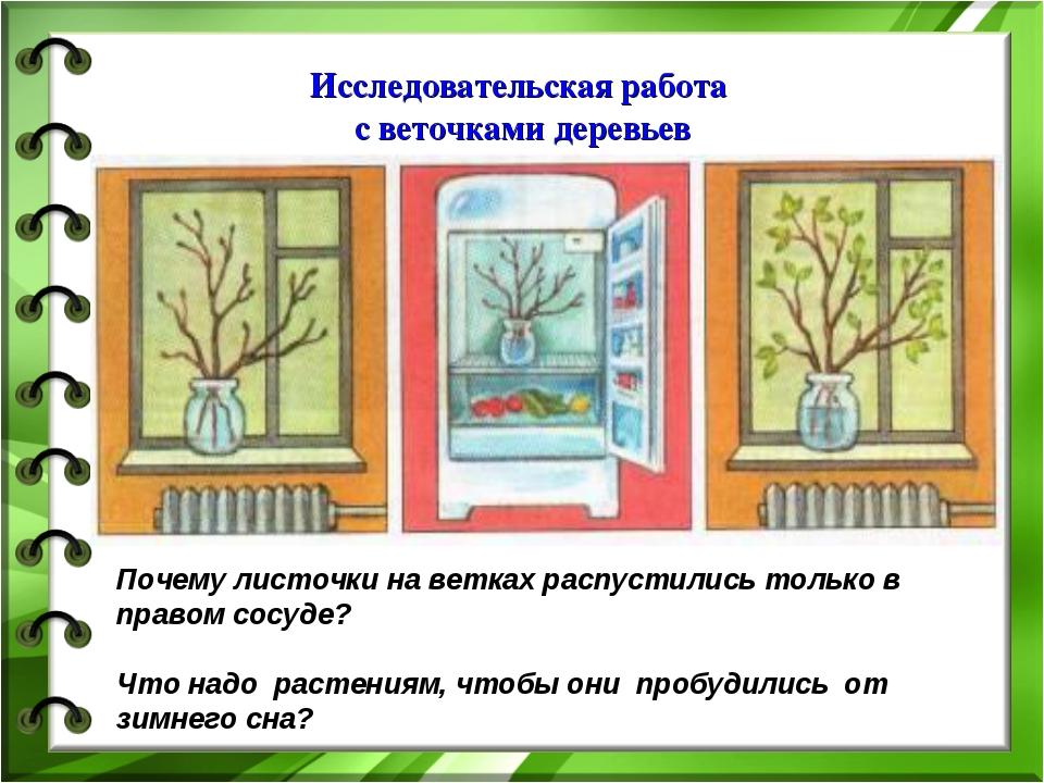 Исследовательская работа с веточками деревьев Почему листочки на ветках распу...