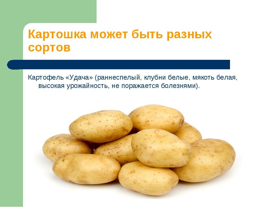 Картошка может быть разных сортов Картофель «Удача» (раннеспелый, клубни белы...