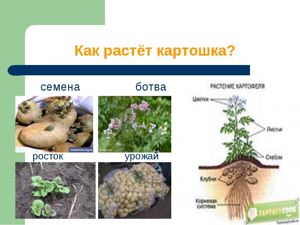 Как растёт картошка? семена ботва росток урожай