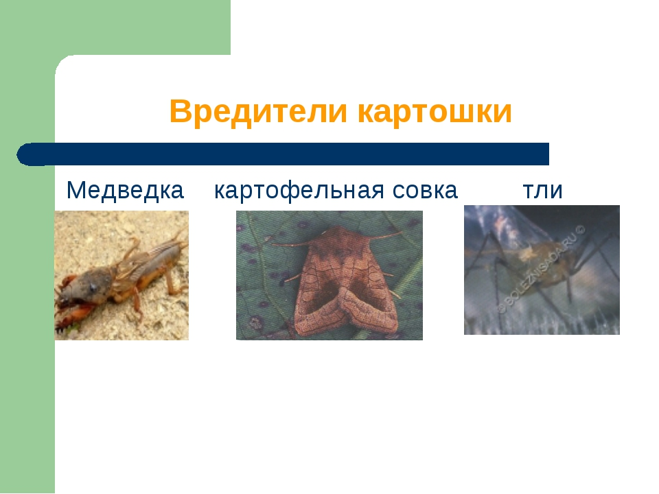 Вредители картошки Медведка картофельная совка тли