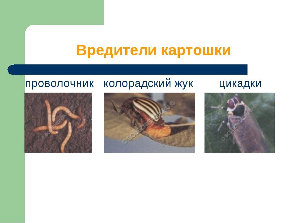 Вредители картошки проволочник колорадский жук цикадки