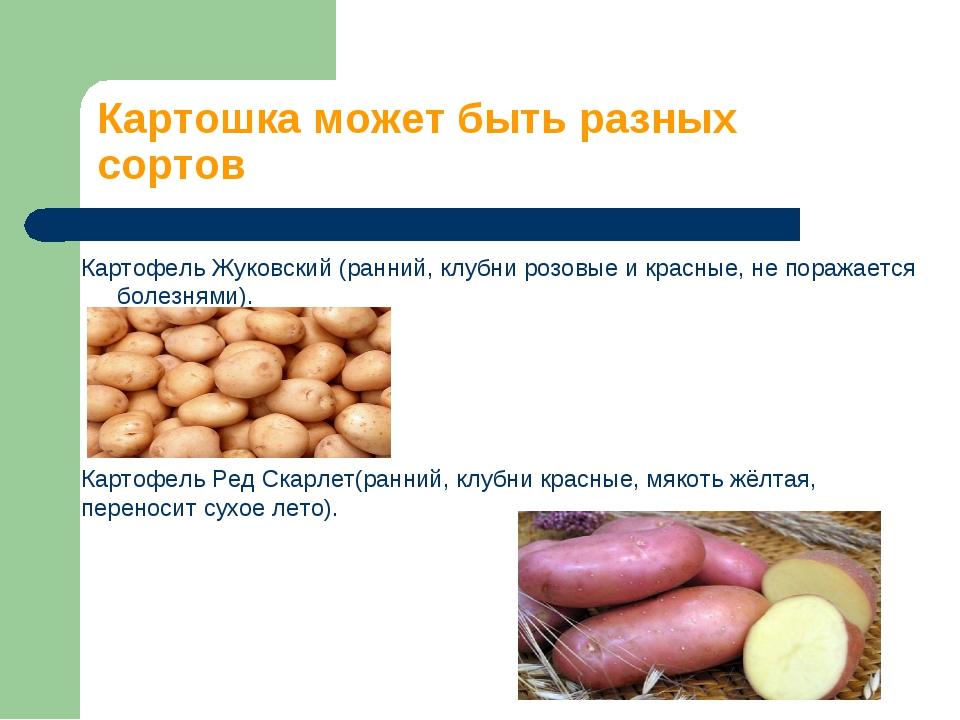 Картошка может быть разных сортов Картофель Жуковский (ранний, клубни розовые...