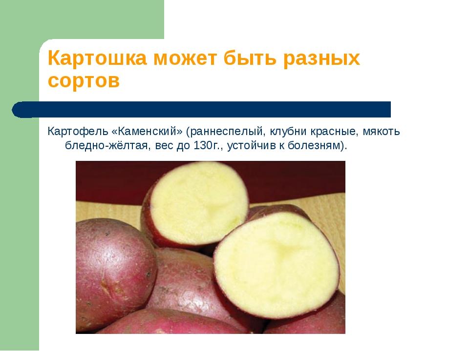 Картошка может быть разных сортов Картофель «Каменский» (раннеспелый, клубни...