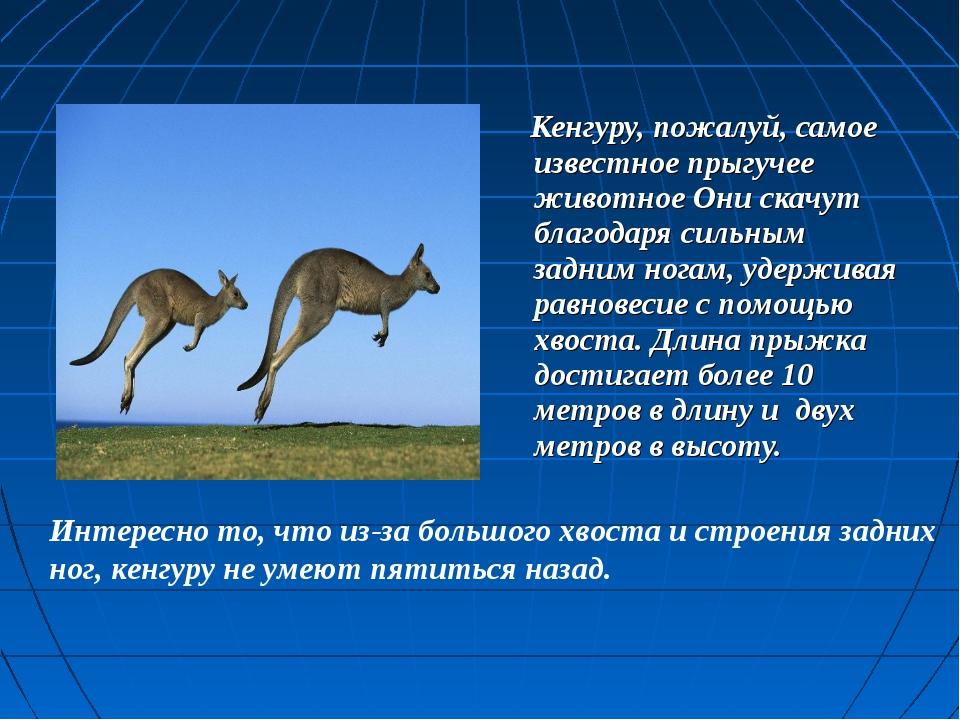 Кенгуру, пожалуй, самое известное прыгучее животное Они скачут благодаря сил...