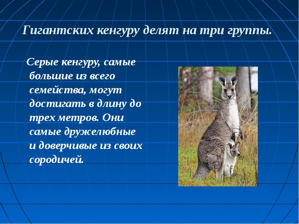 Гигантских кенгуру делят на три группы. Серые кенгуру, самые большие из всего...