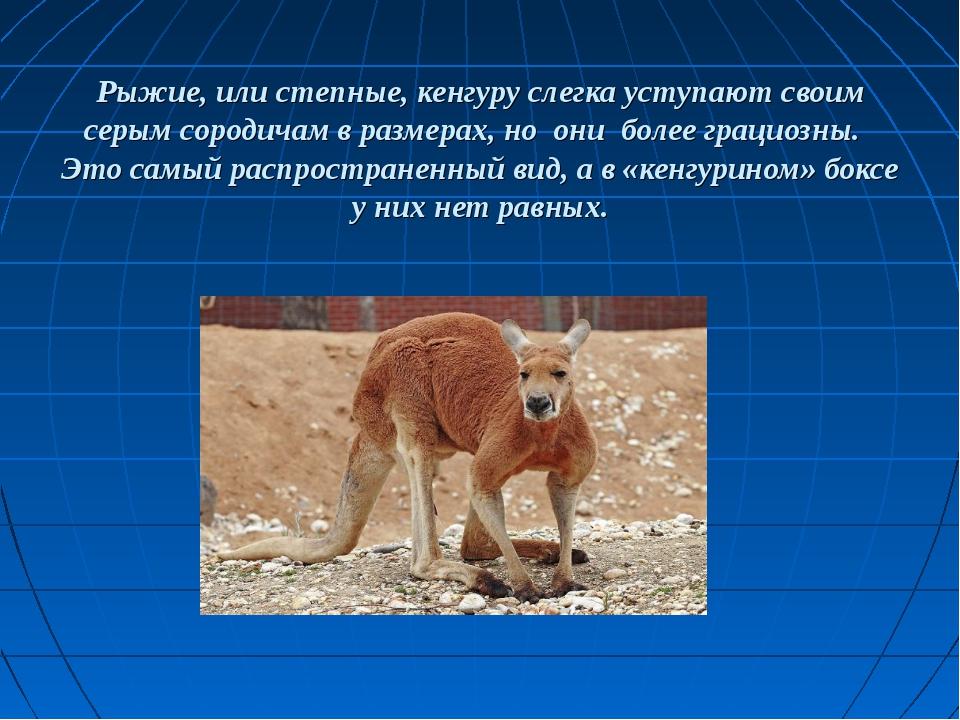 Рыжие, или степные, кенгуруслегка уступают своим серым сородичам в размерах...