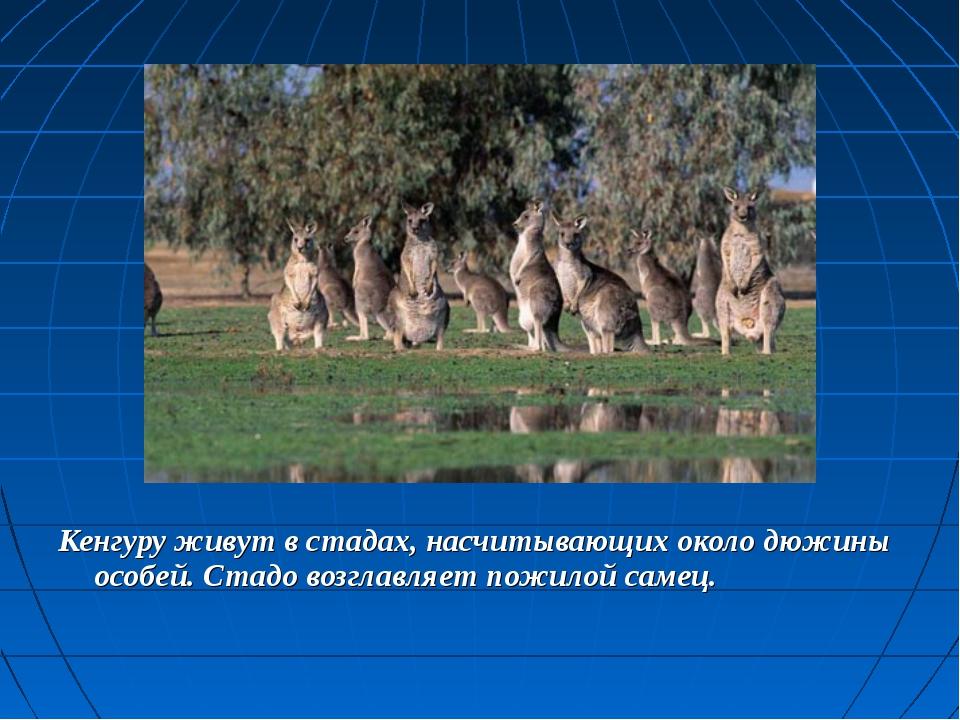 Кенгуру живут в стадах, насчитывающих около дюжины особей. Стадо возглавляет...