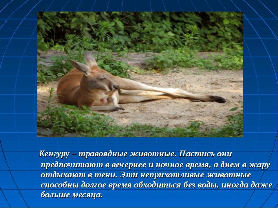 Кенгуру– травоядные животные. Пастись они предпочитают в вечернее и ночное...