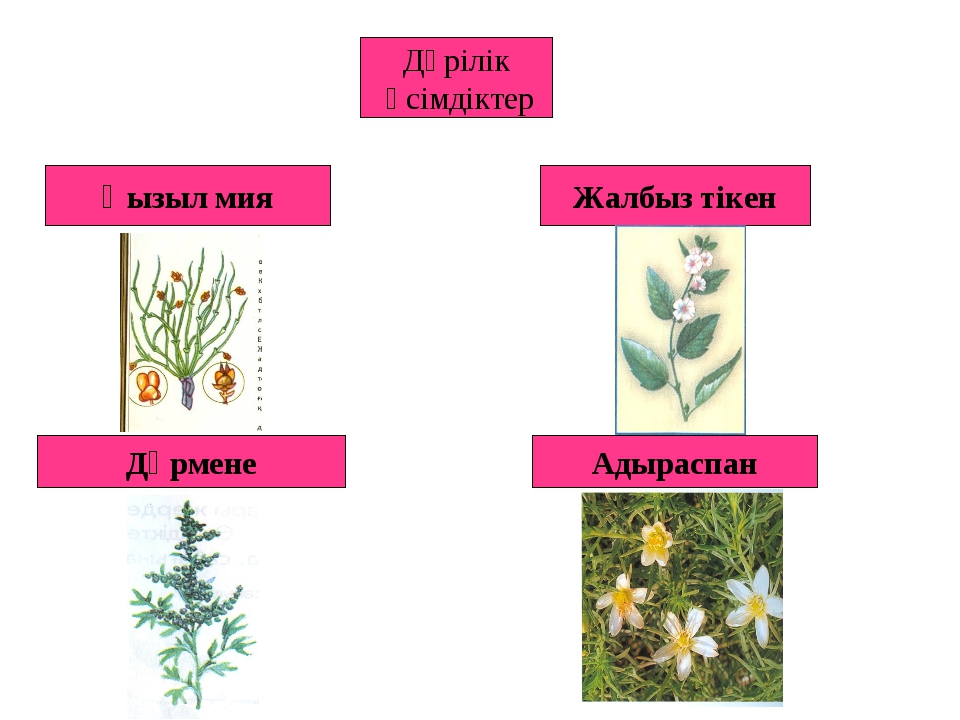 Дәрілік өсімдіктер Қызыл мия Жалбыз тікен Дәрмене Адыраспан