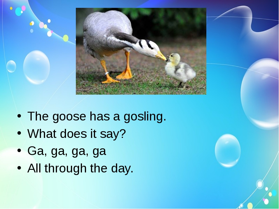 The goose has a gosling.