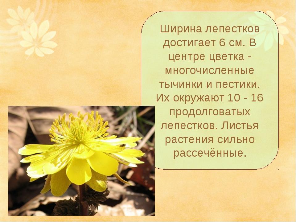 Ширина лепестков достигает 6 см. В центре цветка - многочисленные тычинки и п...