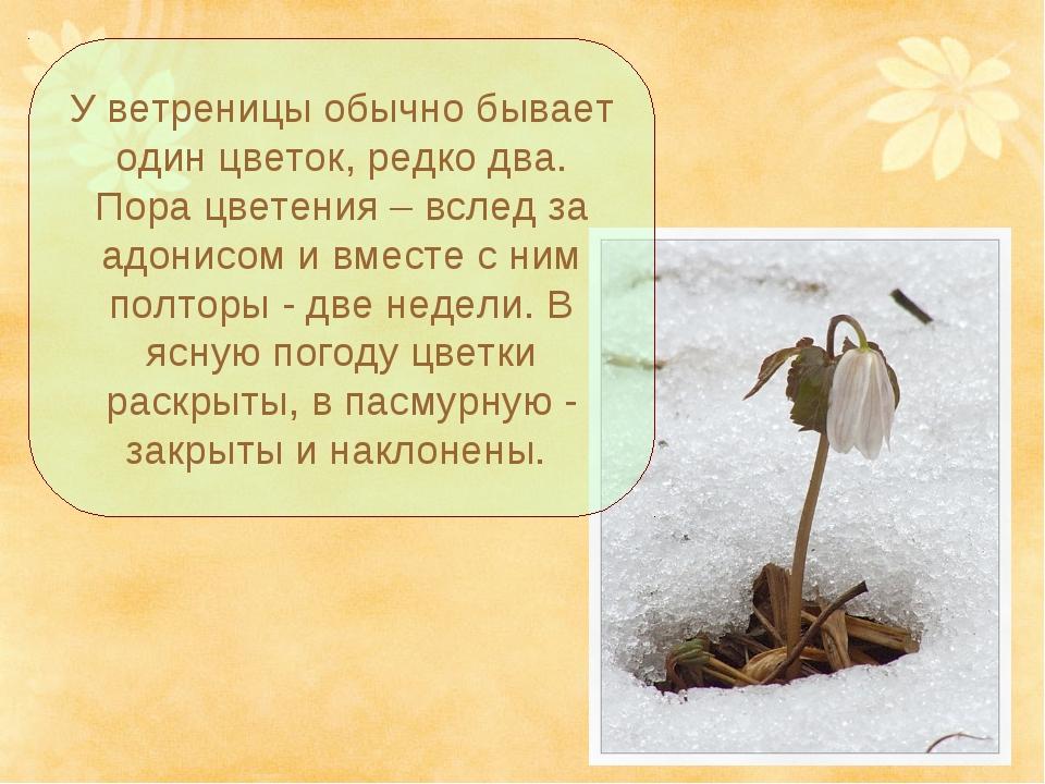 У ветреницы обычно бывает один цветок, редко два. Пора цветения – вслед за ад...