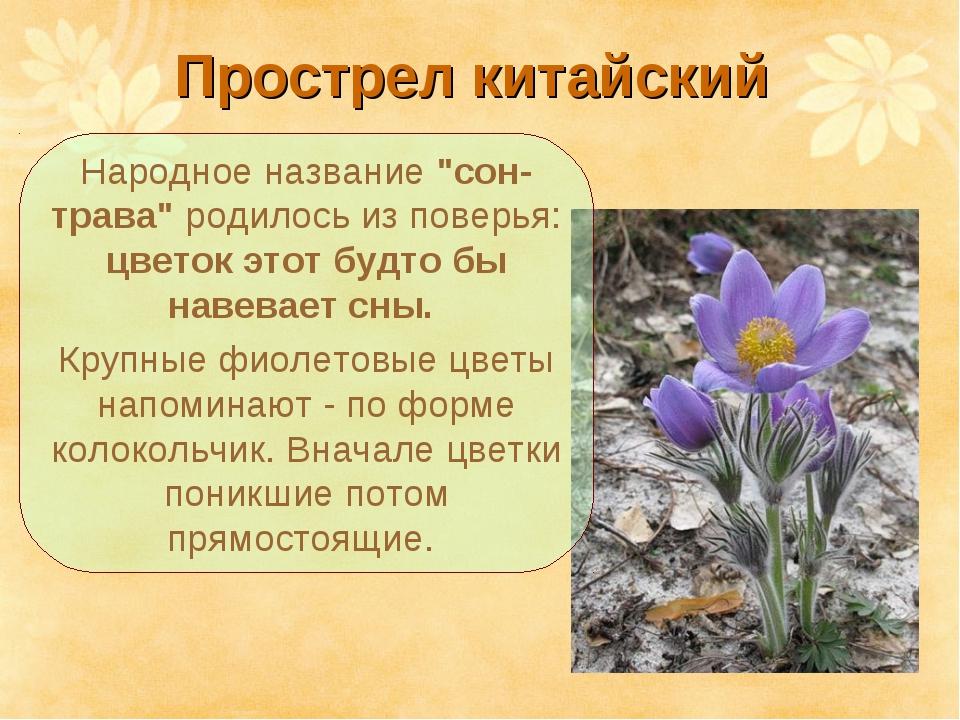 """Прострел китайский Народное название """"сон-трава"""" родилось из поверья: цветок..."""