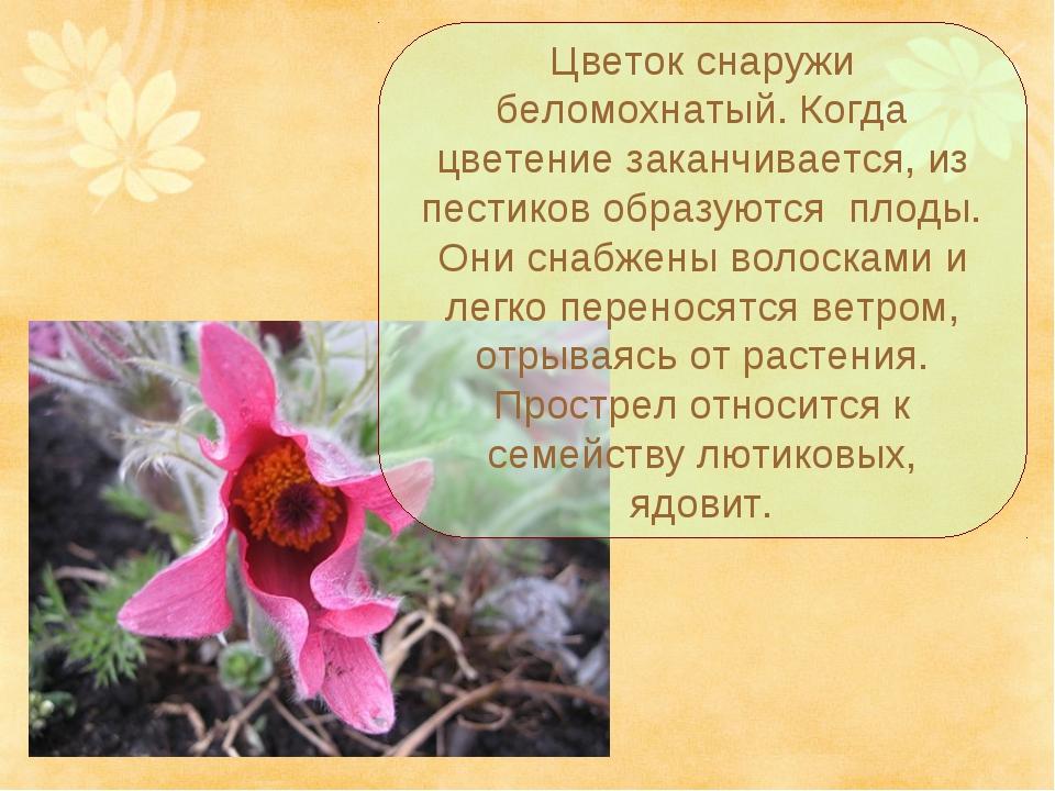 Цветок снаружи беломохнатый. Когда цветение заканчивается, из пестиков образу...