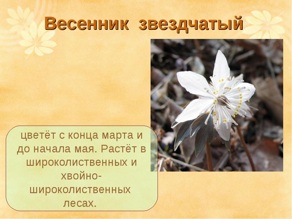 Весенник звездчатый цветёт с конца марта и до начала мая. Растёт в широколист...