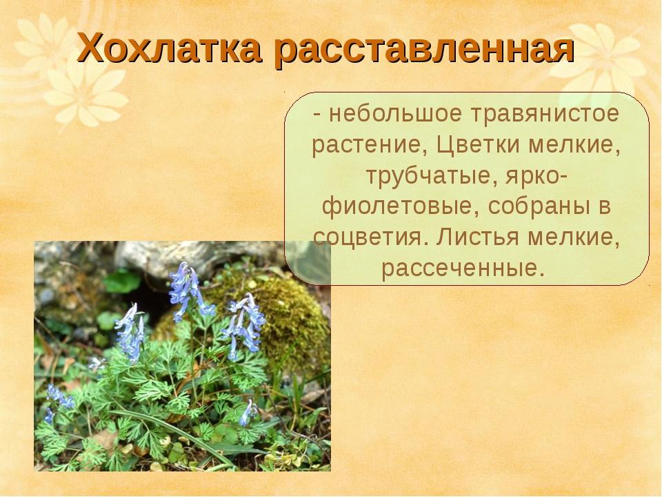 Хохлатка расставленная - небольшое травянистое растение, Цветки мелкие, трубч...