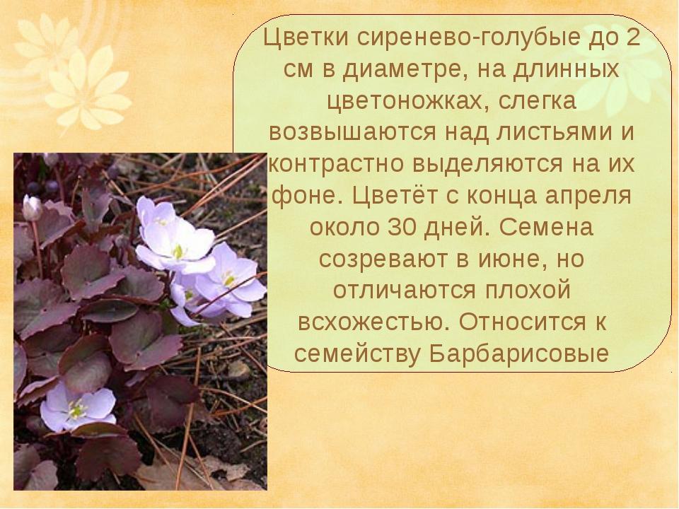Цветки сиренево-голубые до 2 см в диаметре, на длинных цветоножках, слегка во...
