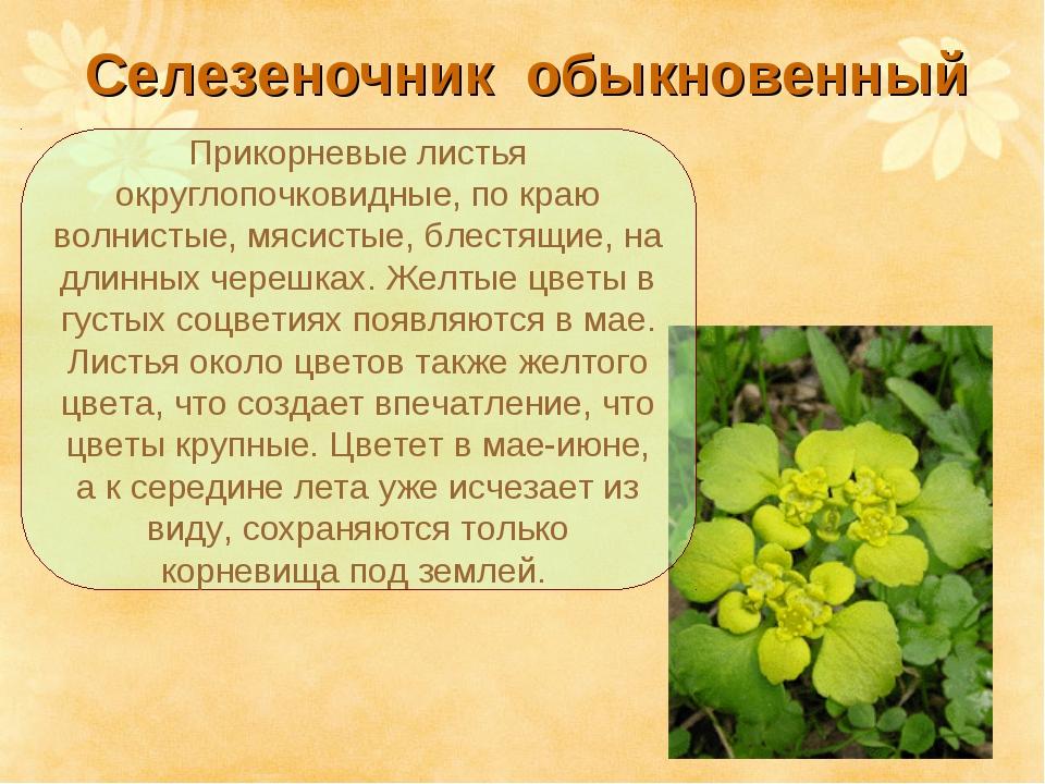 Селезеночник обыкновенный Прикорневые листья округлопочковидные, по краю вол...