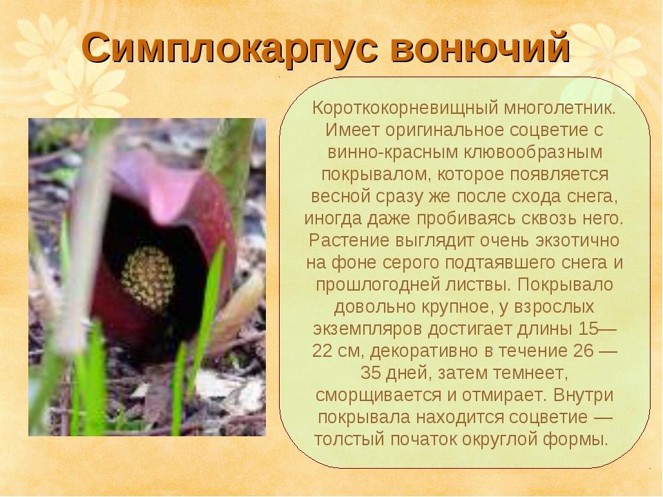 Симплокарпус вонючий Короткокорневищный многолетник. Имеет оригинальное соцве...
