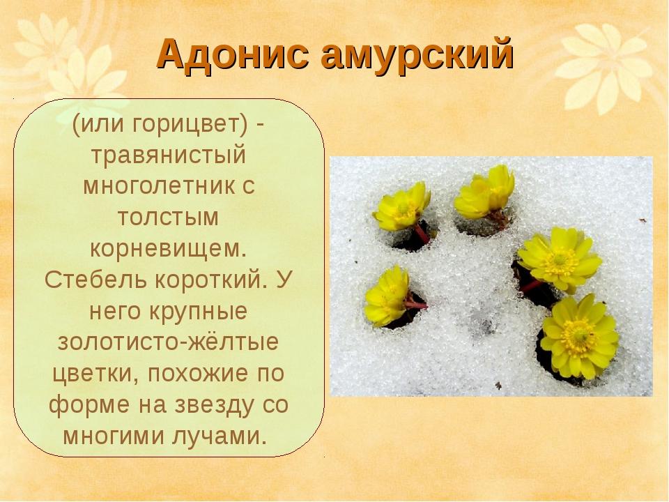 Адонис амурский (или горицвет) - травянистый многолетник с толстым корневищем...