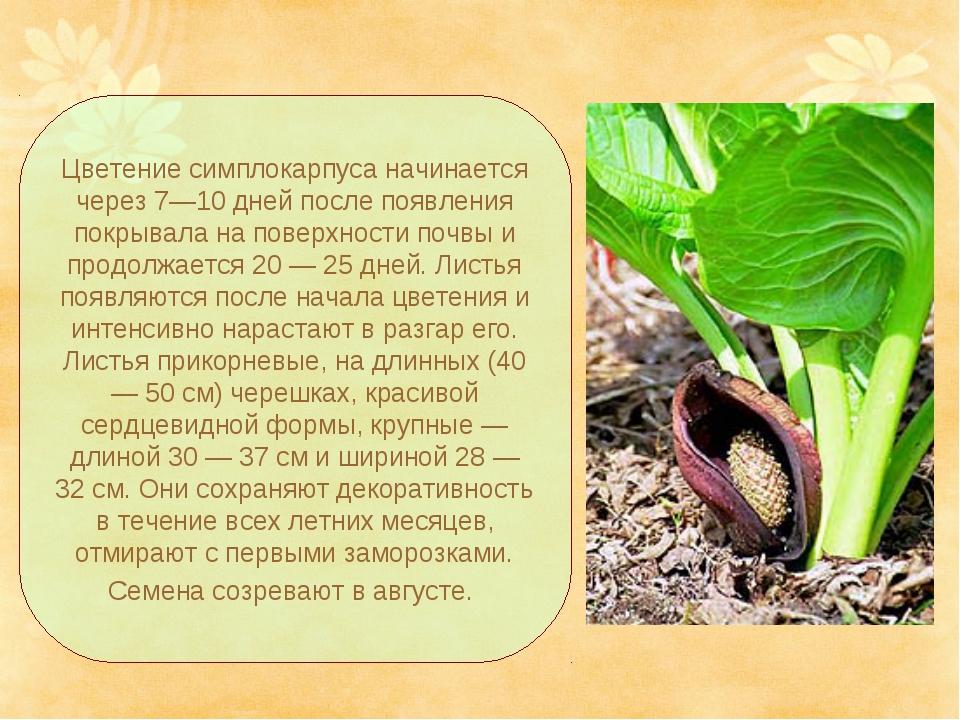 Цветение симплокарпуса начинается через 7—10 дней после появления покрывала н...