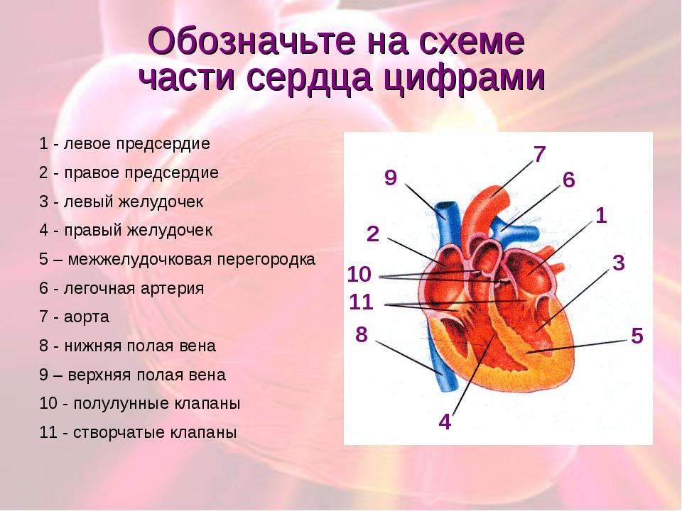 Обозначьте на схеме части сердца цифрами 1 - левое предсердие 2 - правое пред...
