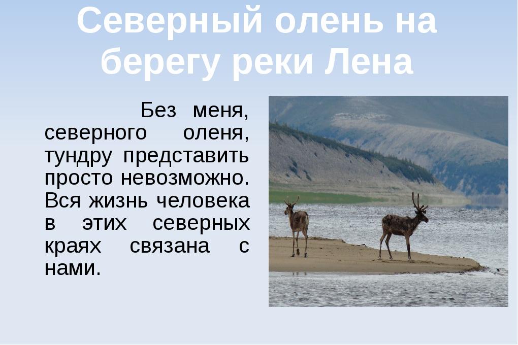 Северный олень на берегу реки Лена Без меня, северного оленя, тундру представ...
