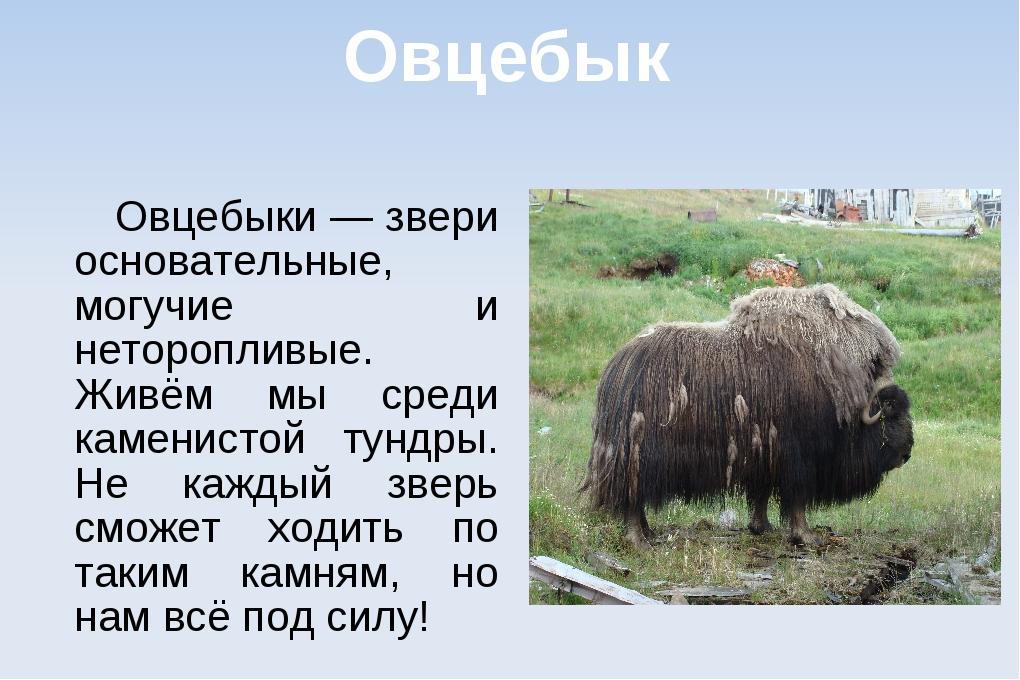 Овцебык Овцебыки — звери основательные, могучие и неторопливые. Живём мы сред...