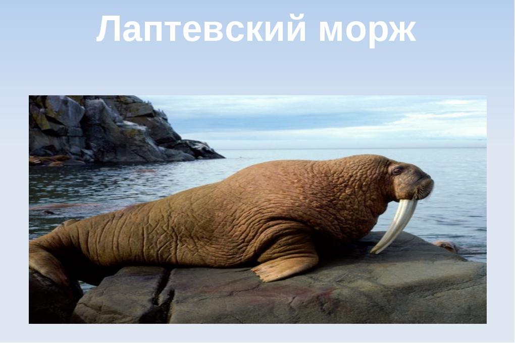 Лаптевский морж