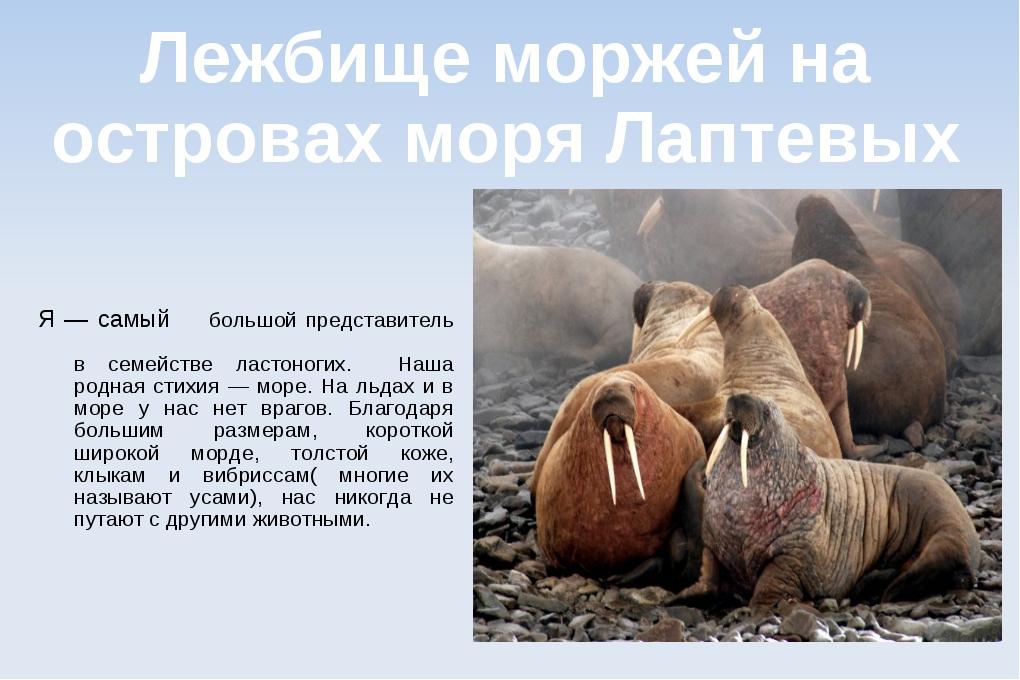 Лежбище моржей на островах моря Лаптевых Я — самый большой представитель в се...