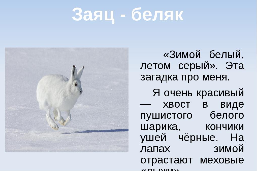 Заяц - беляк «Зимой белый, летом серый». Эта загадка про меня. Я очень красив...