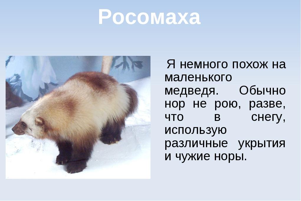 Росомаха Я немного похож на маленького медведя. Обычно нор не рою, разве, что...