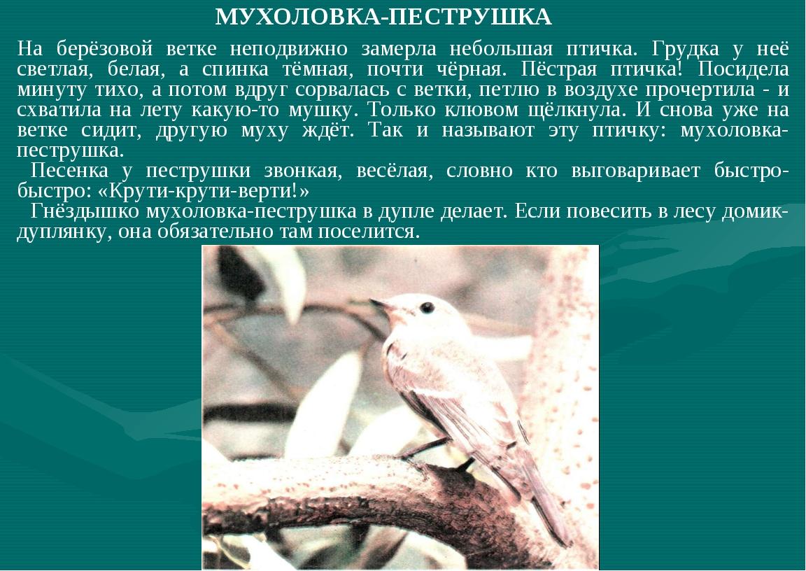 МУХОЛОВКА-ПЕСТРУШКА На берёзовой ветке неподвижно замерла небольшая птичка. Г...