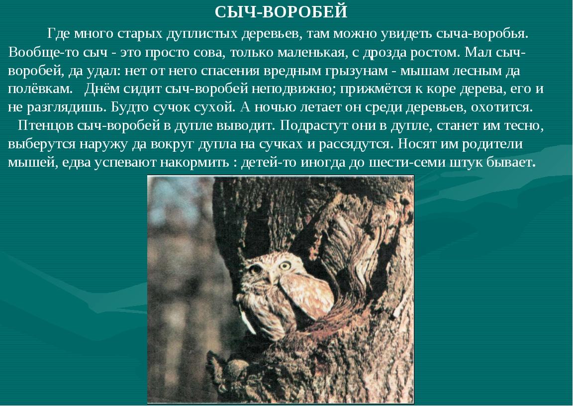 СЫЧ-ВОРОБЕЙ Где много старых дуплистых деревьев, там можно увидеть сыча-воро...