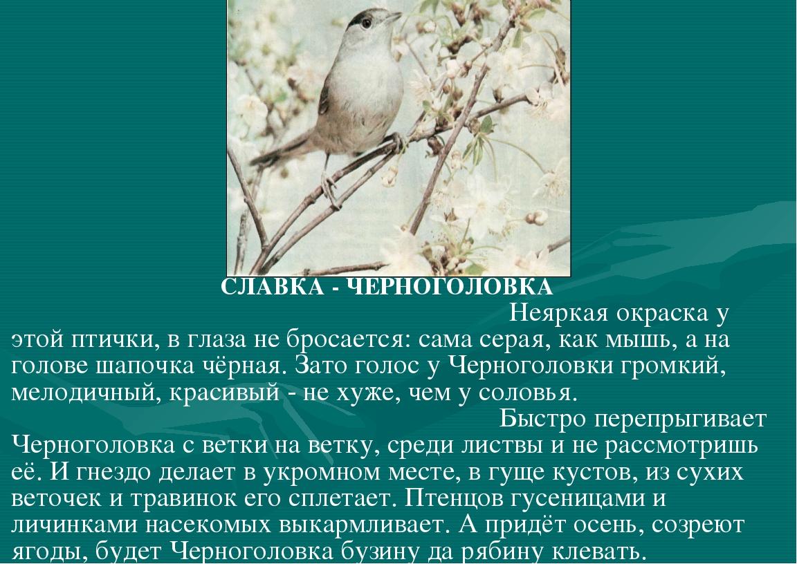 СЛАВКА - ЧЕРНОГОЛОВКА Неяркая окраска у этой птички, в глаза не бросается: с...