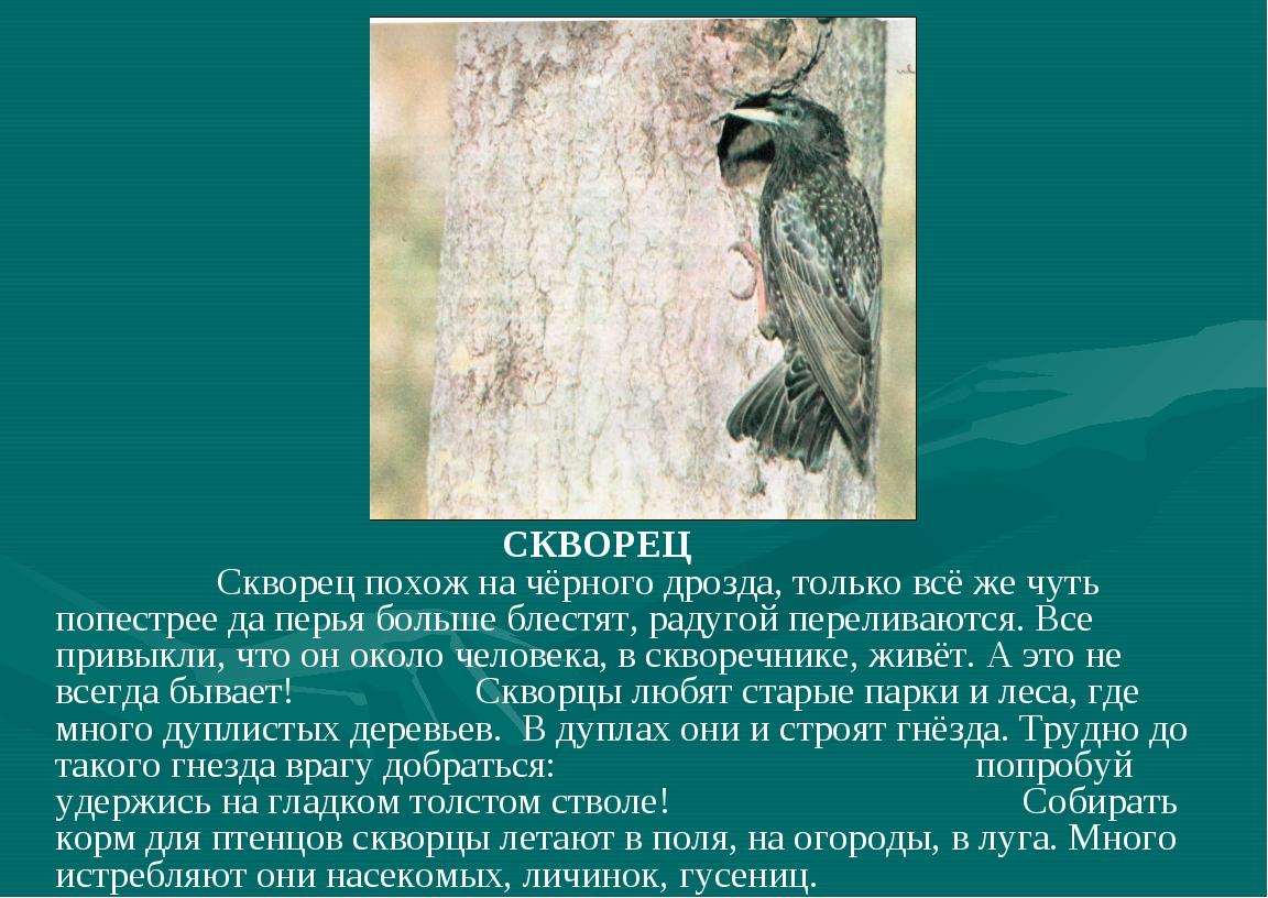 СКВОРЕЦ Скворец похож на чёрного дрозда, только всё же чуть попестрее да пер...