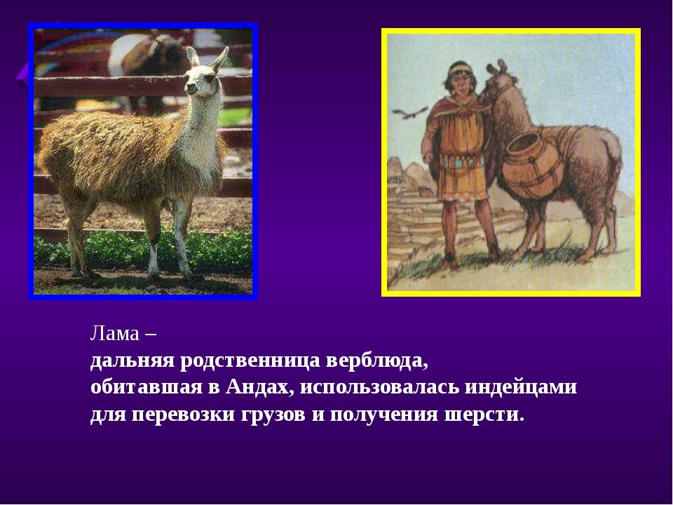 Лама – дальняя родственница верблюда, обитавшая в Андах, использовалась индей...