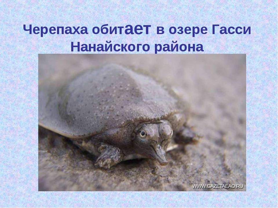 Черепаха обитает в озере Гасси Нанайского района
