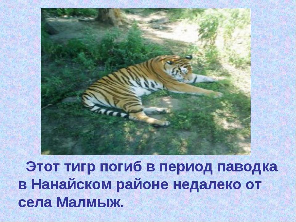 ти Этот тигр погиб в период паводка в Нанайском районе недалеко от села Малм...